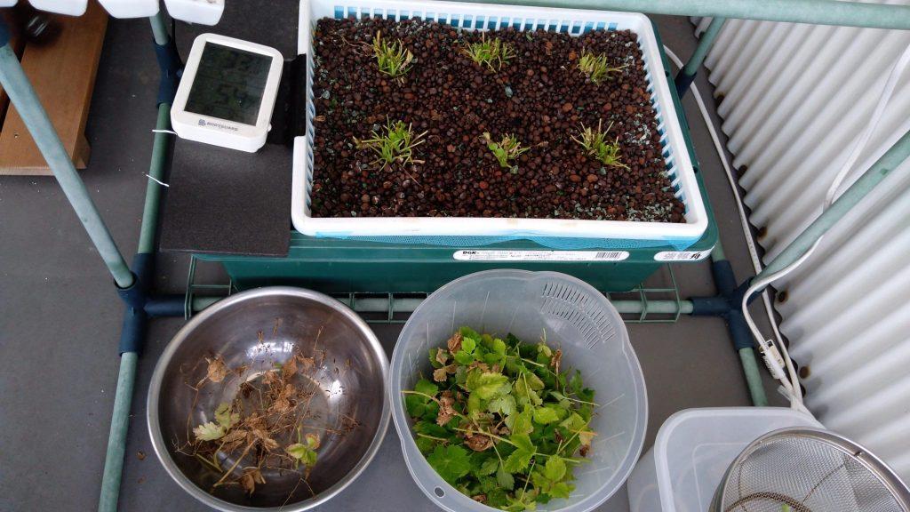 水耕栽培 リボベジ三つ葉 種とり後