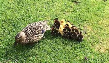 ducklings July 2016 small