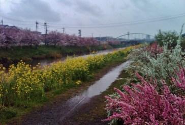 Hanami River near Katsatudai - Katsutadaiminami river garden path