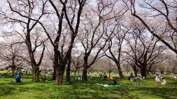 Koganei park sunshine cherry trees