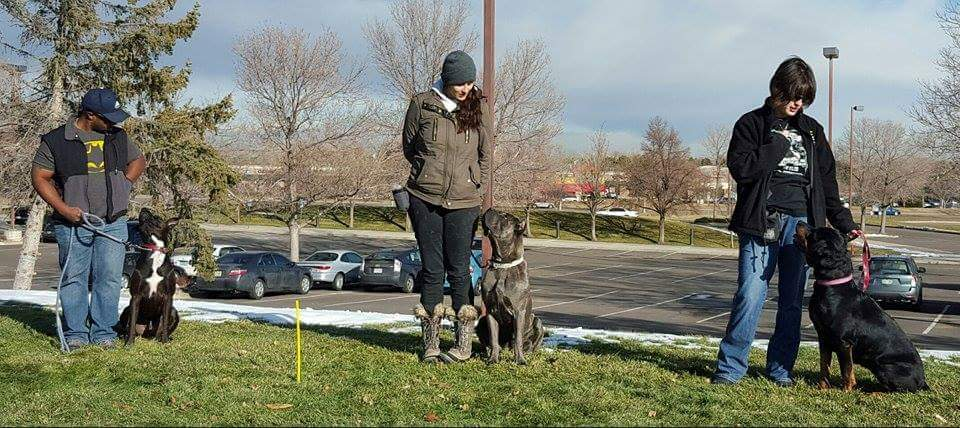 Cane Corso,Rott and pitbull training