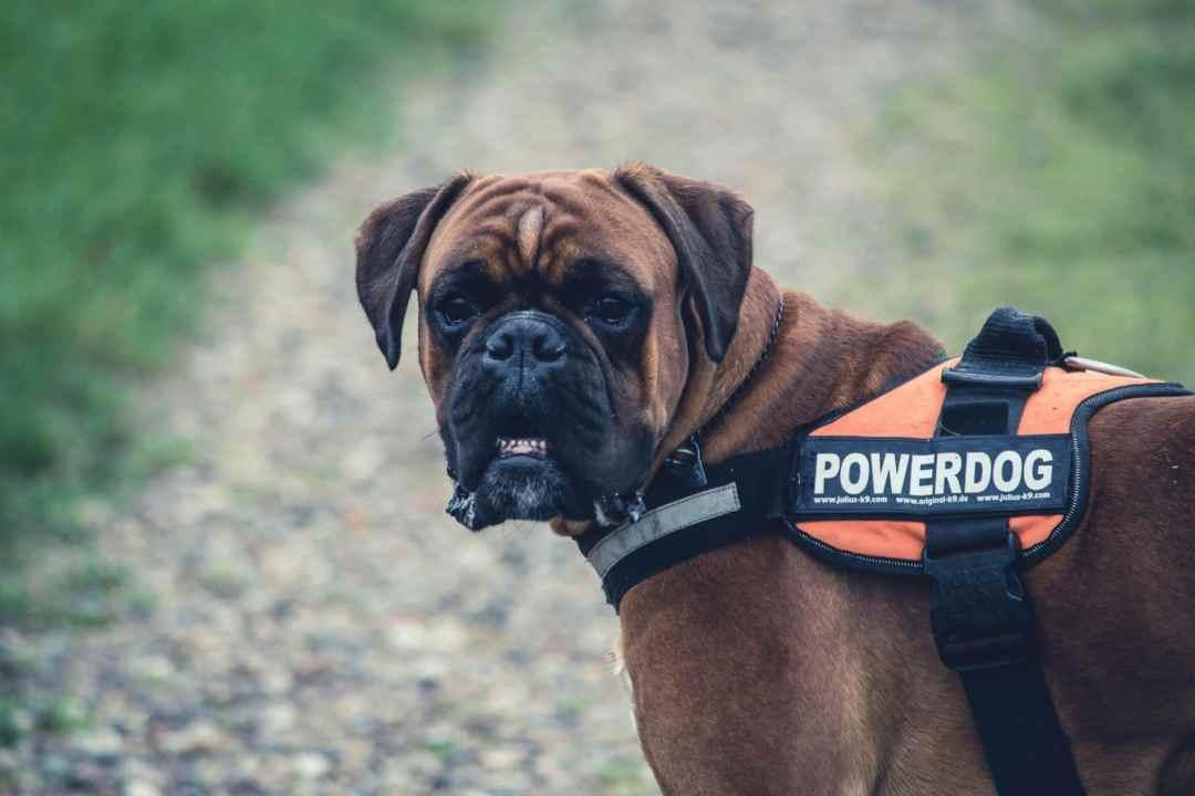 emotional support service dog