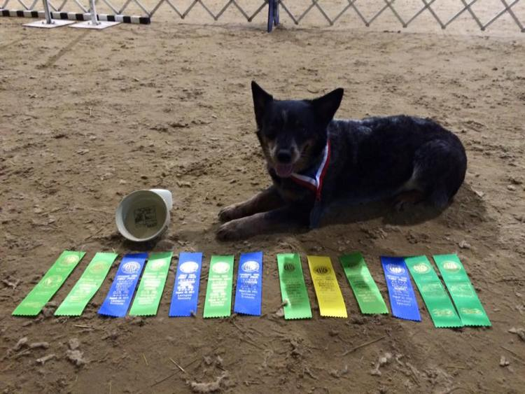 cattle dog awards