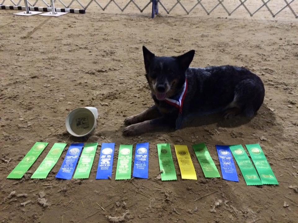 cattle dog awards