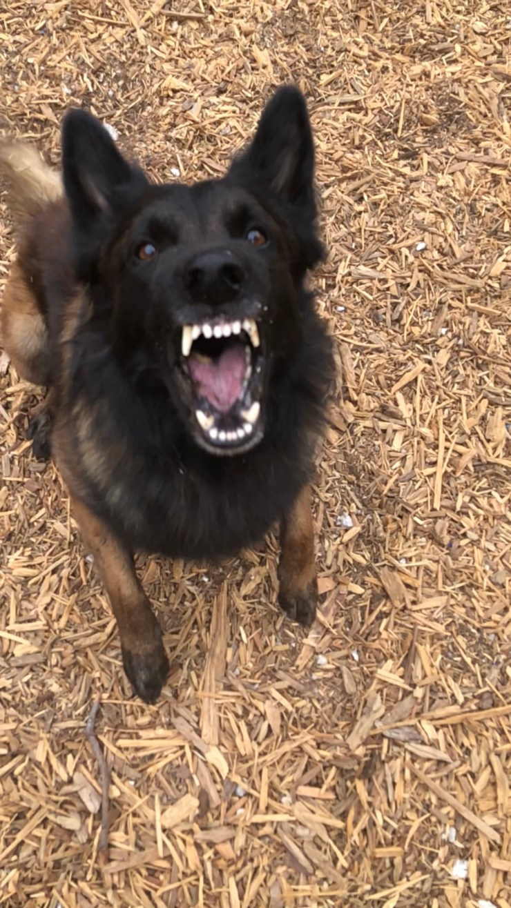 Aggressive shepherd dog