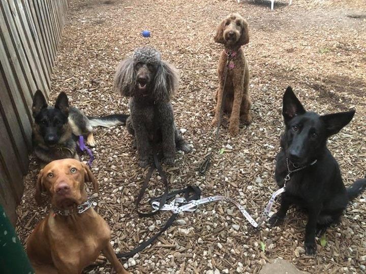 dog training poodle visla gsd