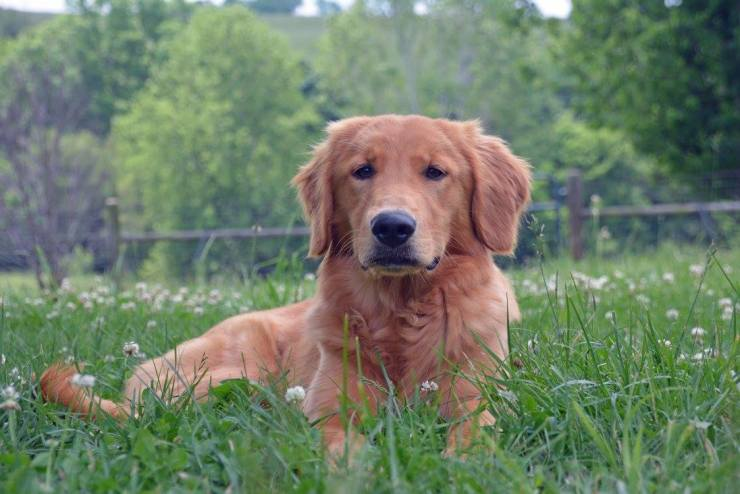 Tattle the Service Dog