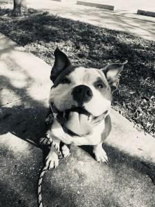 Professional Dog Training Success Story   Merlin