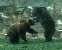 zoo bears fighting