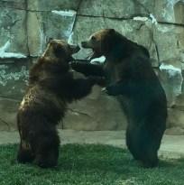 zoo bears snarl