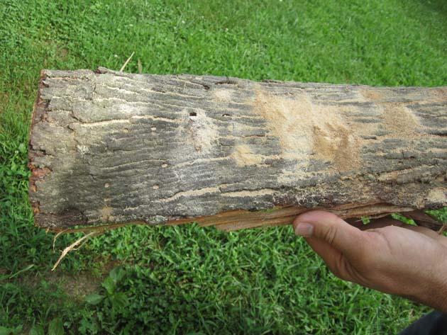 Fig Tree Wood Firewood