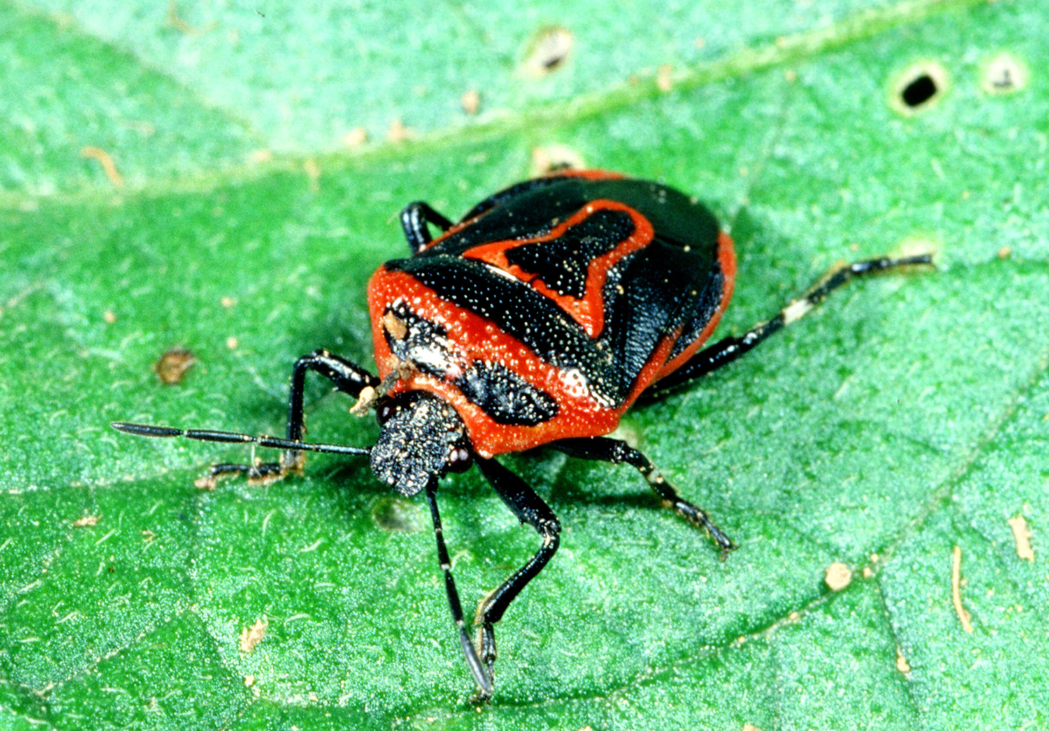 Stink And Leaffooted Bugs Active  Kentucky Pest News