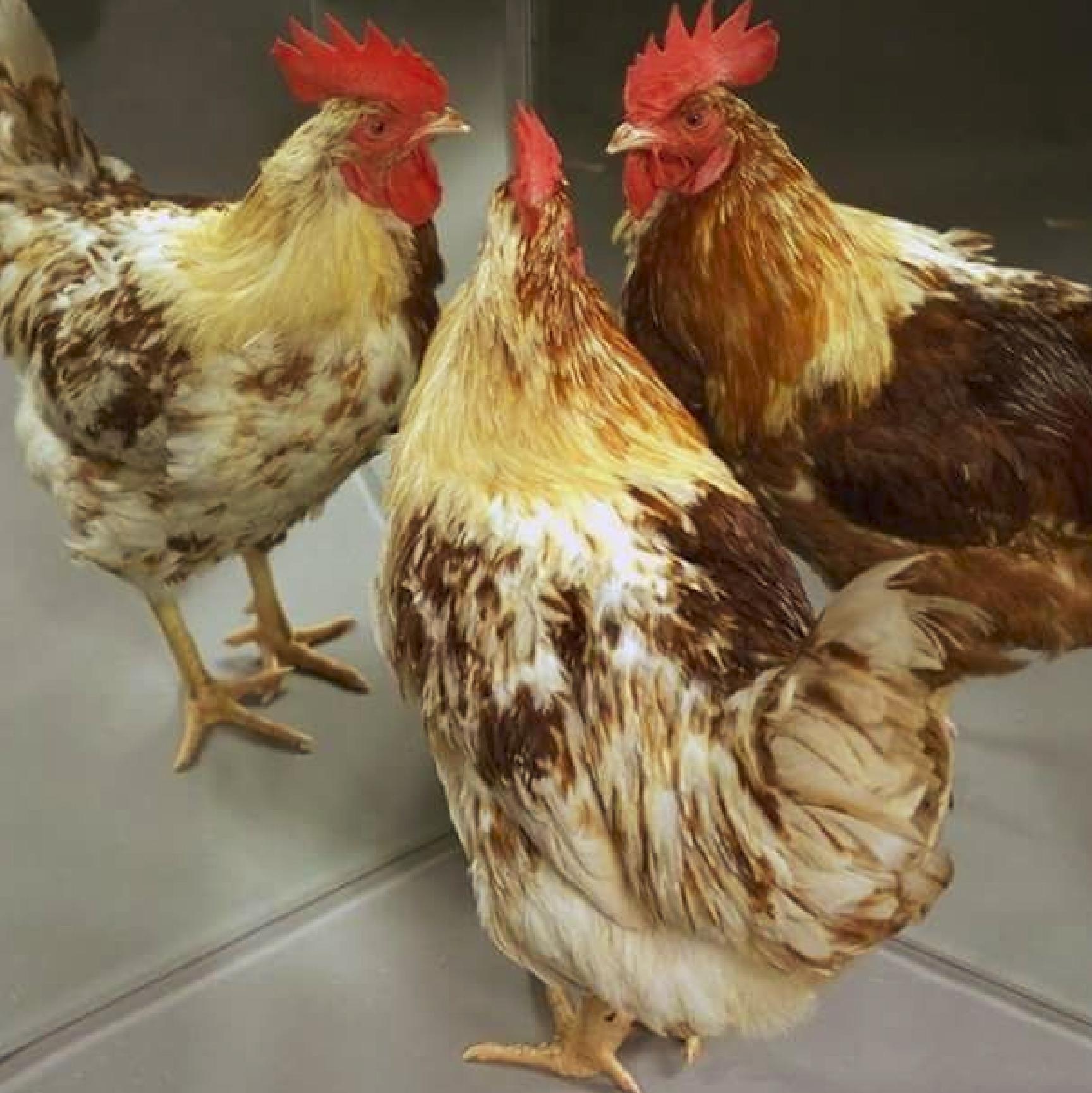 Day old-chicks-3