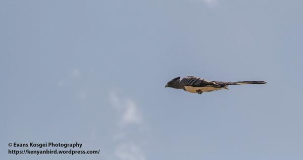 19go-away-bird.0