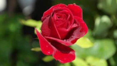 Kenyan roses
