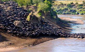 Wildebeest Migration between Maasai Mara Kenya and Serengeti Tanzania