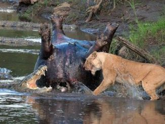 Great Maasai Mara. Watch this amazing fight between crocodiles, buffaloes and lions