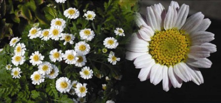 Pyrethrum Farming in Kenya