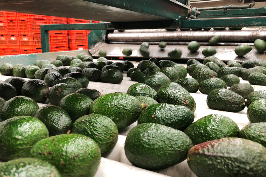 Kenya Suspends Avocado Exports Indefinitely - Kenyan Wallstreet