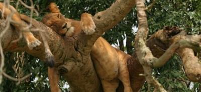 tree-climbing-lions-ishasha