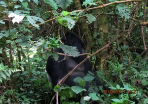 2 Days Rwanda Gorilla Safari to Volcanoes National Park