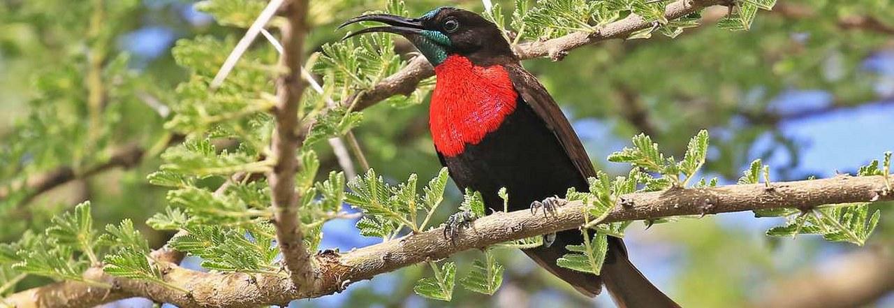Birding Safaris in Kibale Forest National Park Uganda