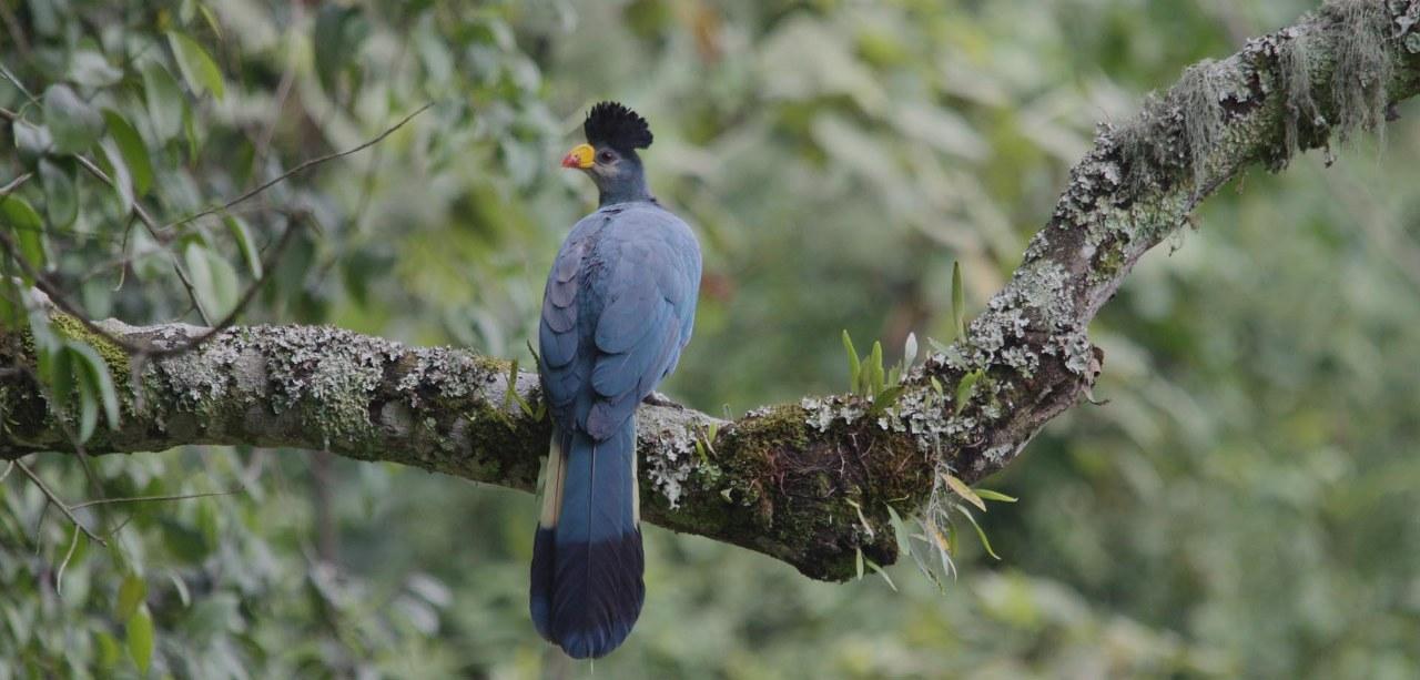 Birding in Bwindi Impenetrable Forest