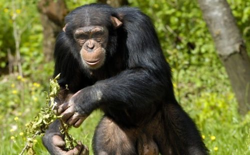 Chimpanzee trekking Uganda safari Kibale Forest National Park Uganda