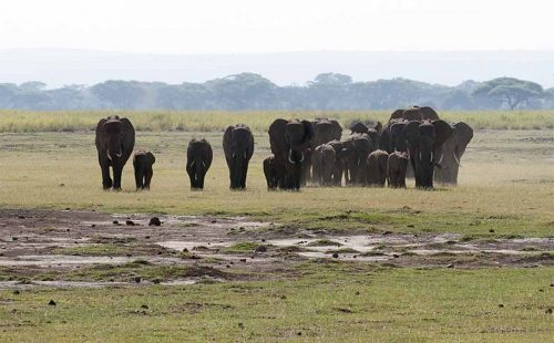 Flocks of elephants in Amboseli National Park