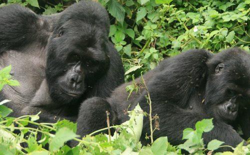 Gorilla Habituation in Bwindi