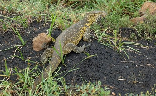 Heaps of reptiles in Ruma National Park;