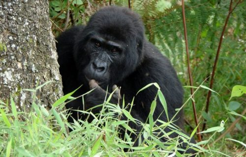 15 days Rwanda Uganda Gorilla Trekking