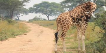 Reticulated giraffes in Lewa conservancy