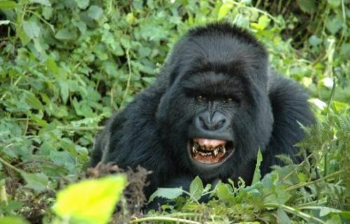 6 days Uganda Gorilla Tracking safari