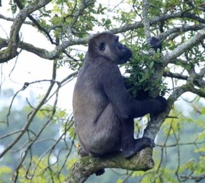 Do Gorillas climb