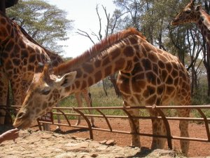 Giraffe Centre in Nairobi