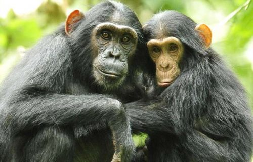 Short Uganda Safari and Primates Trekking 3 days