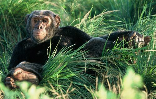 Uganda Safari to Gorillas & Chimpanzee trekking- 10 days