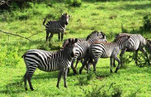 Wildlife Safari in Uganda; 2 Days