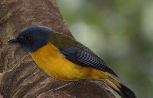 birds in mgahinga national park
