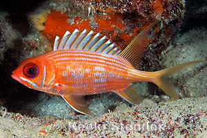family holocentridae squirrelfishes soldierfishes