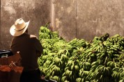 Man Watching Over Bananas before Market Day