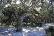 oldtree