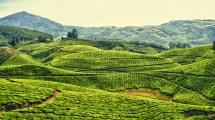 Tea Plantations Kerala India