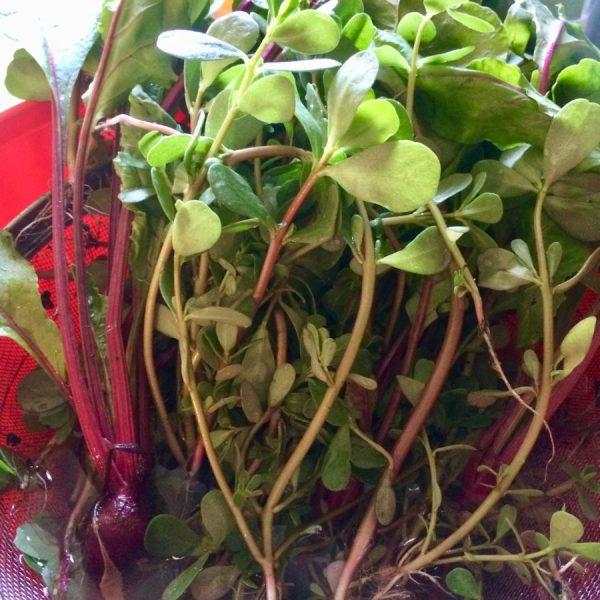 Purslane and baby beet greens