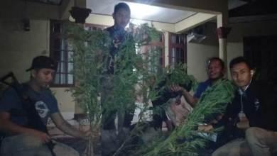 Photo of Breaking News, Polres Kerinci Temukan 2 Hektar Ladang Ganja
