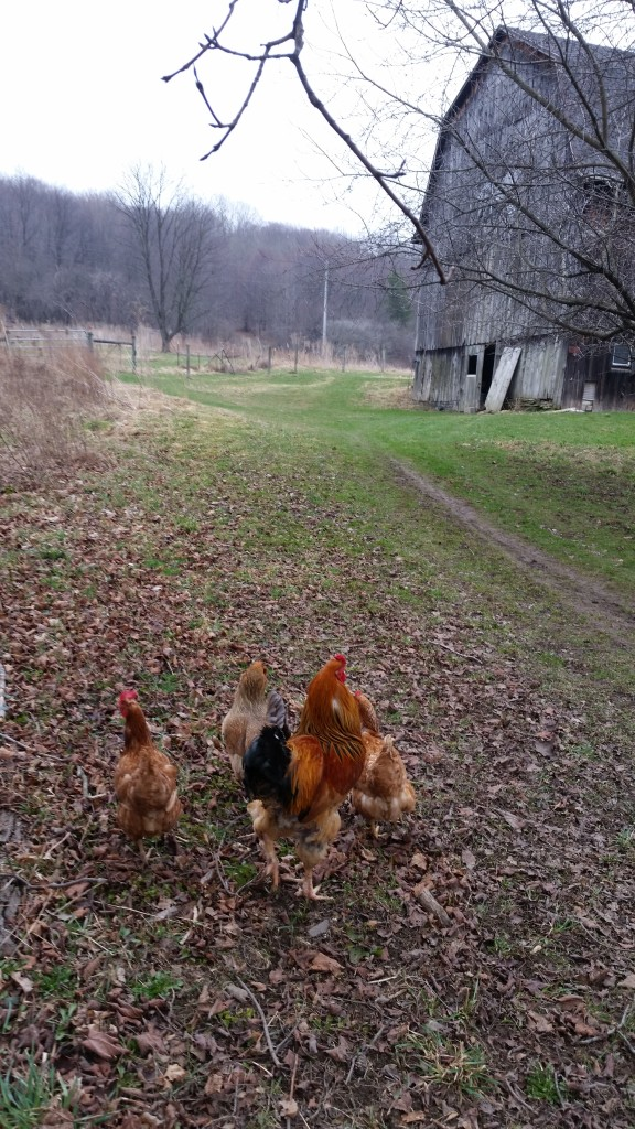 Amy's chickens (and a ROOSTER!) at her farm.