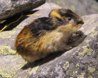 A lemming, probably preparing to throw itself off the cliff.
