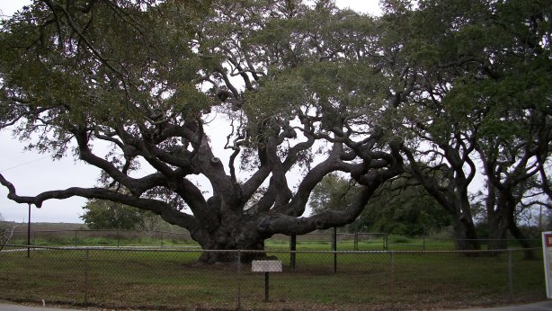 The Big Tree in Goose Island State Park.