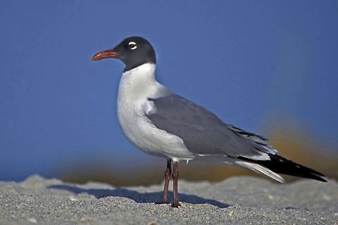 Laughing Gull Mating Plumage